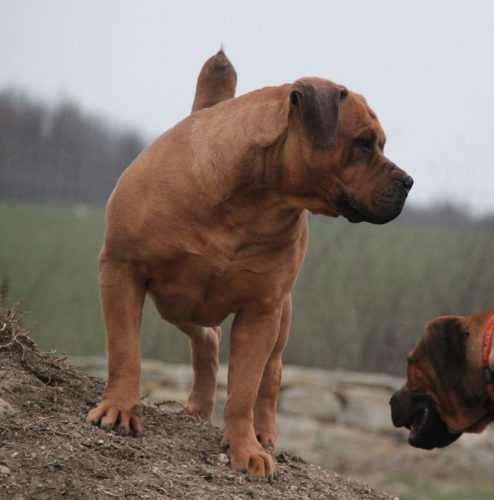 A standing boerboel showing it's muscular build