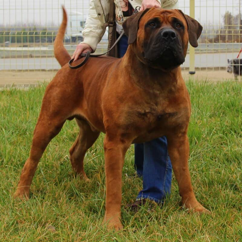 Boerboels for Sale   The South African Mastiff