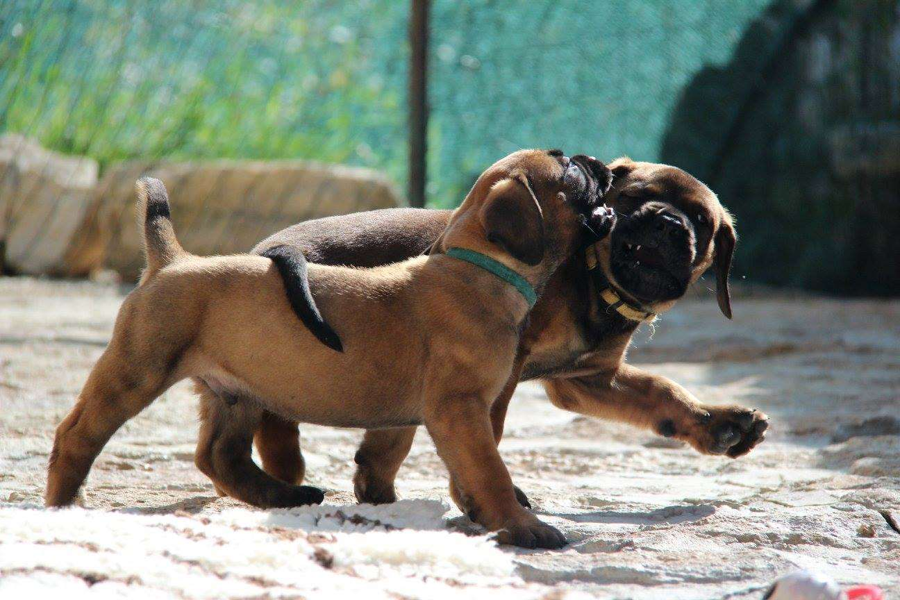 two playing boerboel puppies