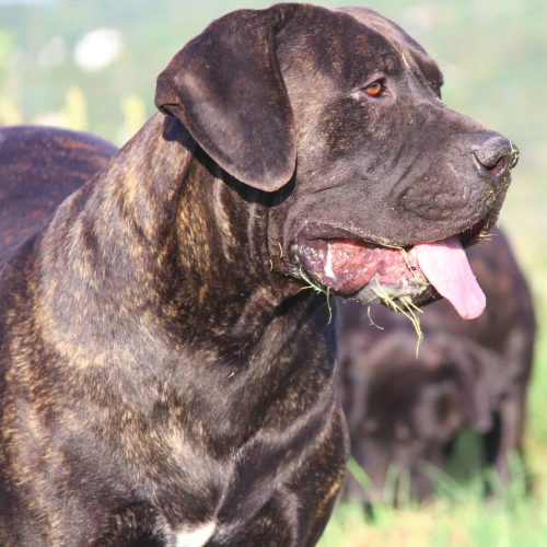 Image of our boerboel Jackpot